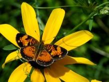 orange butterfly on black-eyed susan2