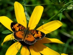 orange butterfly on black-eyed susan2