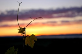 grape leaves and sunset
