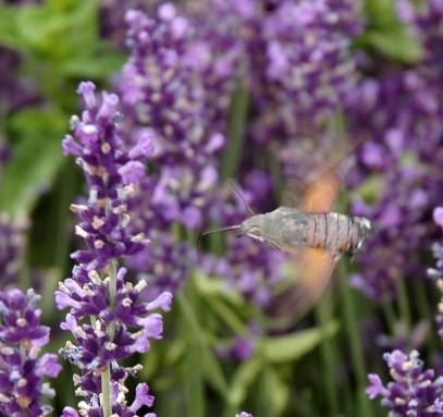 hawk moth2