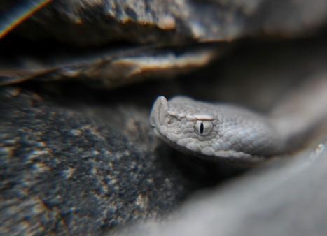 viper closeup