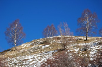 3 birches on hill
