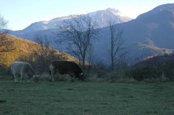 cows grazing, chia