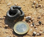 baby-viperine-snake-with-euro2