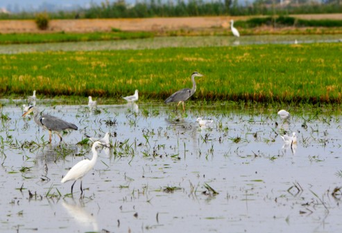 egrets-and-herons