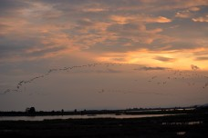 Thousands of glossy ibis flew by in flight after flight, flock after flock.