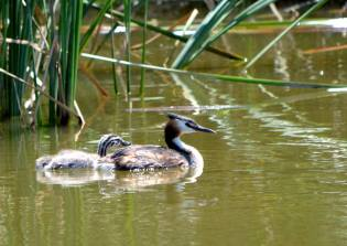 Great crested grebe with juvenile