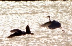 Backlit birds in flight