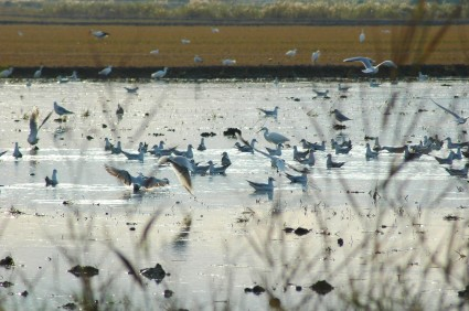 rice-paddy-with-lots-of-birds2