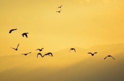 Flock of ducks at sunset