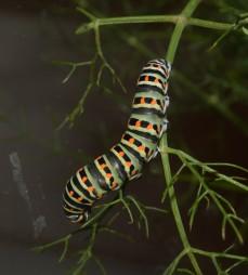 Swallowtail caterpillar on wild fennel