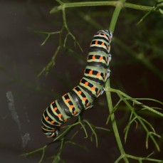 Swallowtail caterpillar on wild fennel