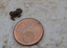 Tiny new toad