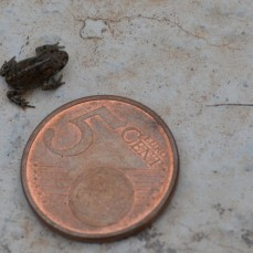 Tiny new toad