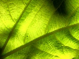 fig leaf closeup