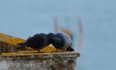 pigeons snogging
