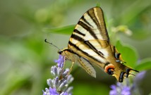 swallotail on flower